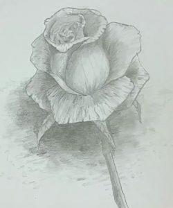 Rose zeichnen - Schattierung verwischen