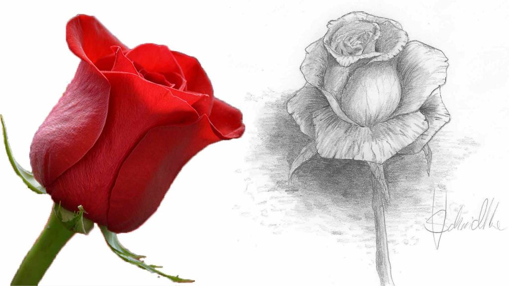 Rose zeichnen Thumbnail